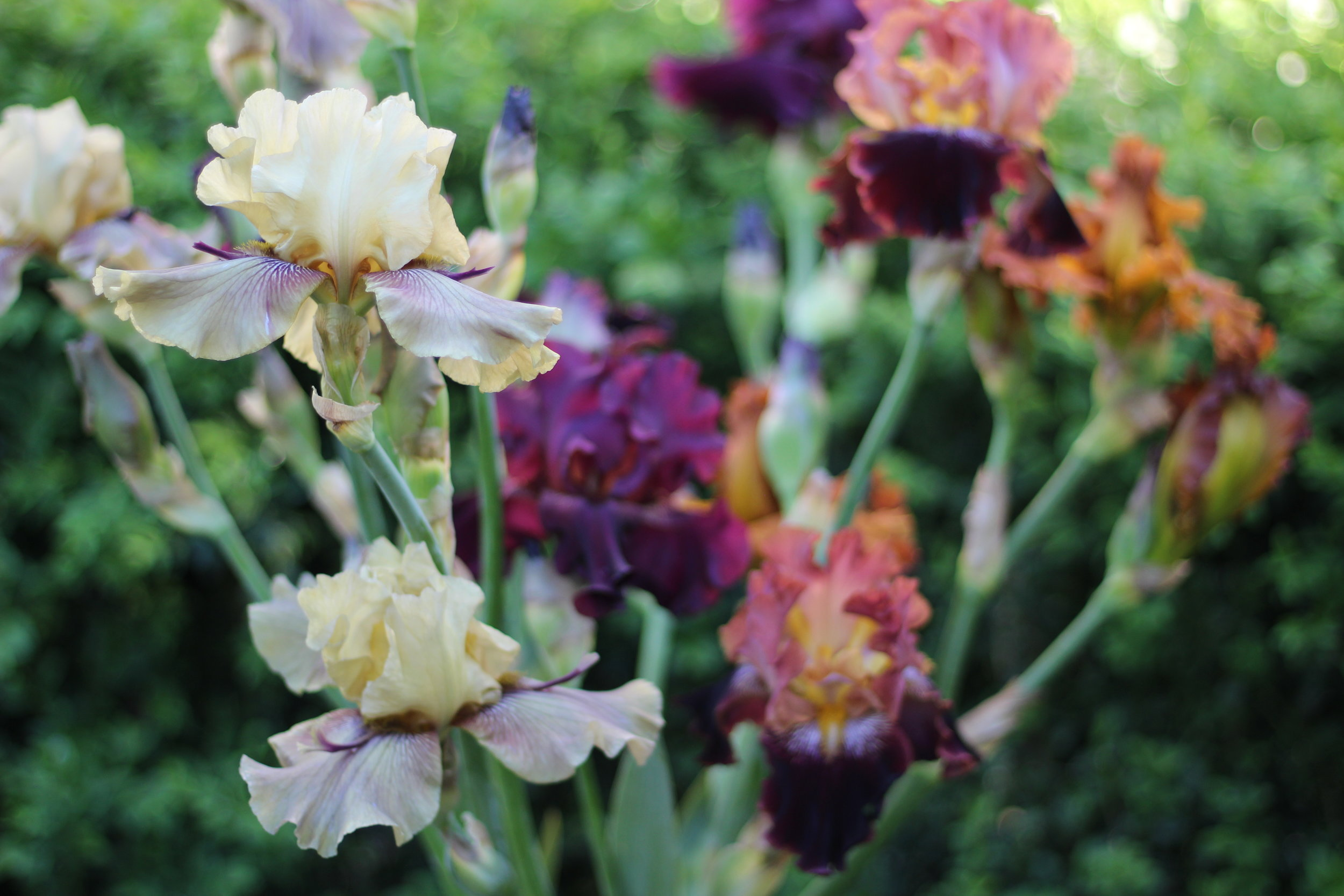 Iris_thornbird.jpg