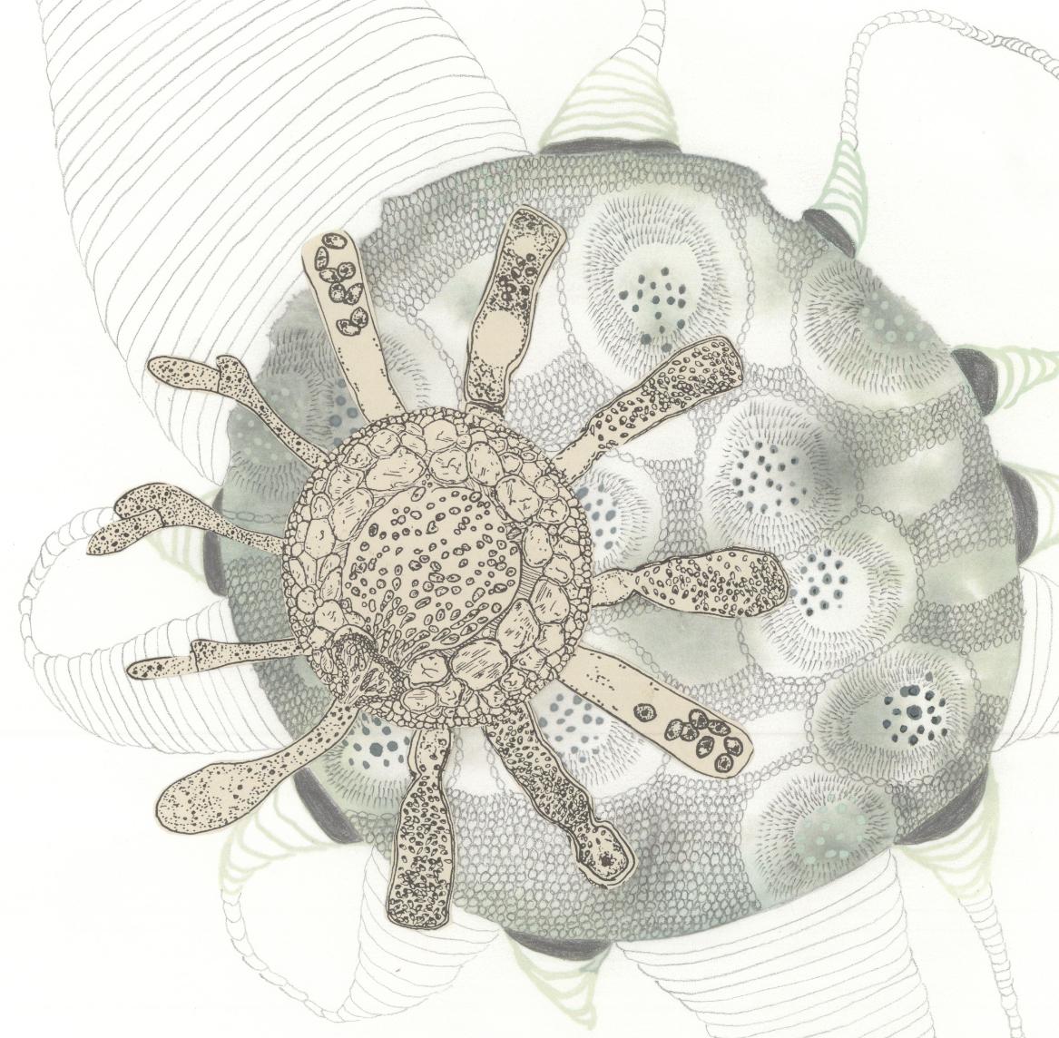 Navi Viridescens  (detail)