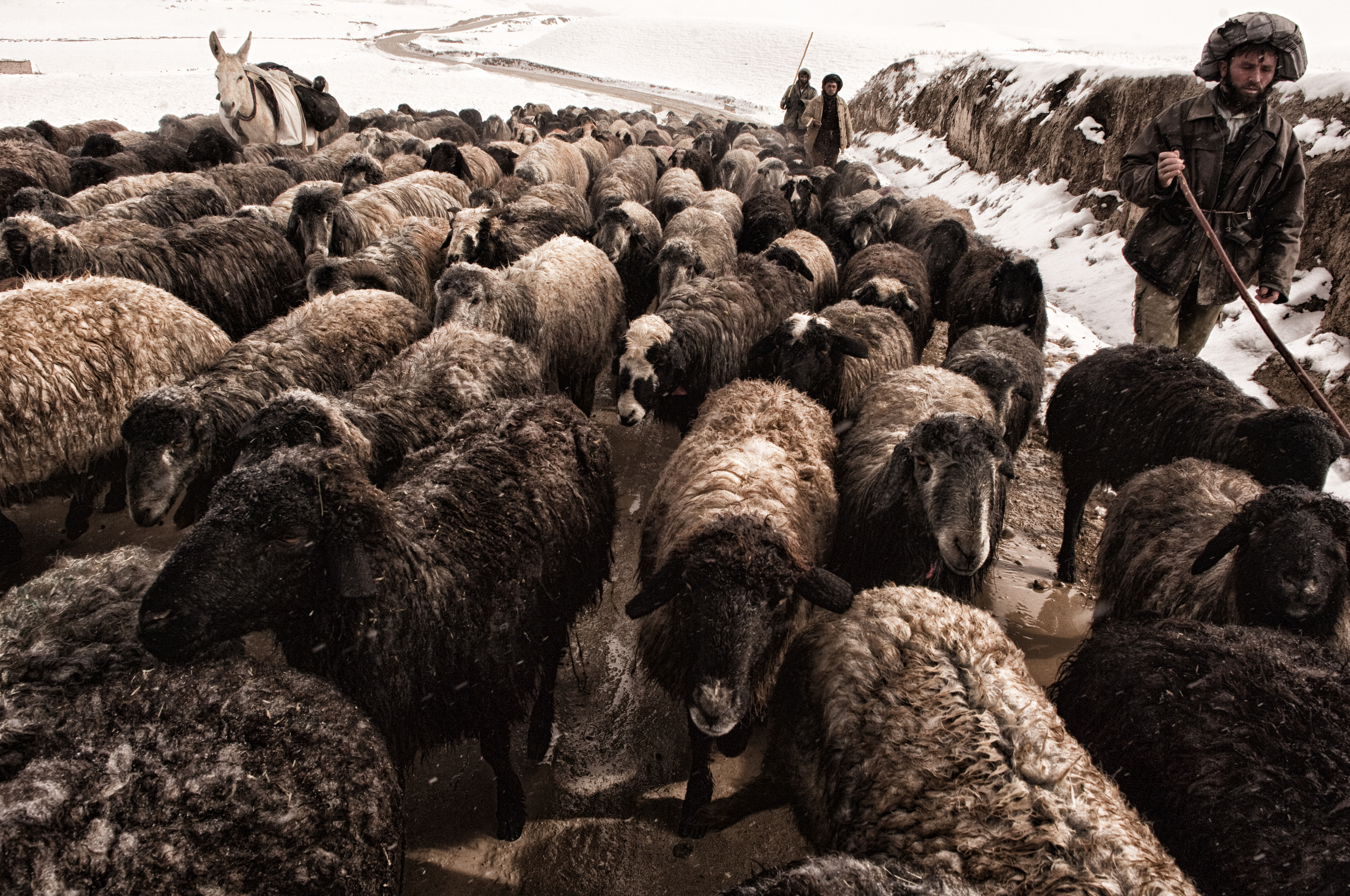 Nearly half the villages in western Afghanistan had been cut off from the major cities due to heavy snowfall, the cold snap hit the agricultural and livestock industry hard with more than 130,000 cattle perishing in the freezing temperatures Faryab Province, Afghanistan, February 21, 2008. (Photo/Mark Pearson)
