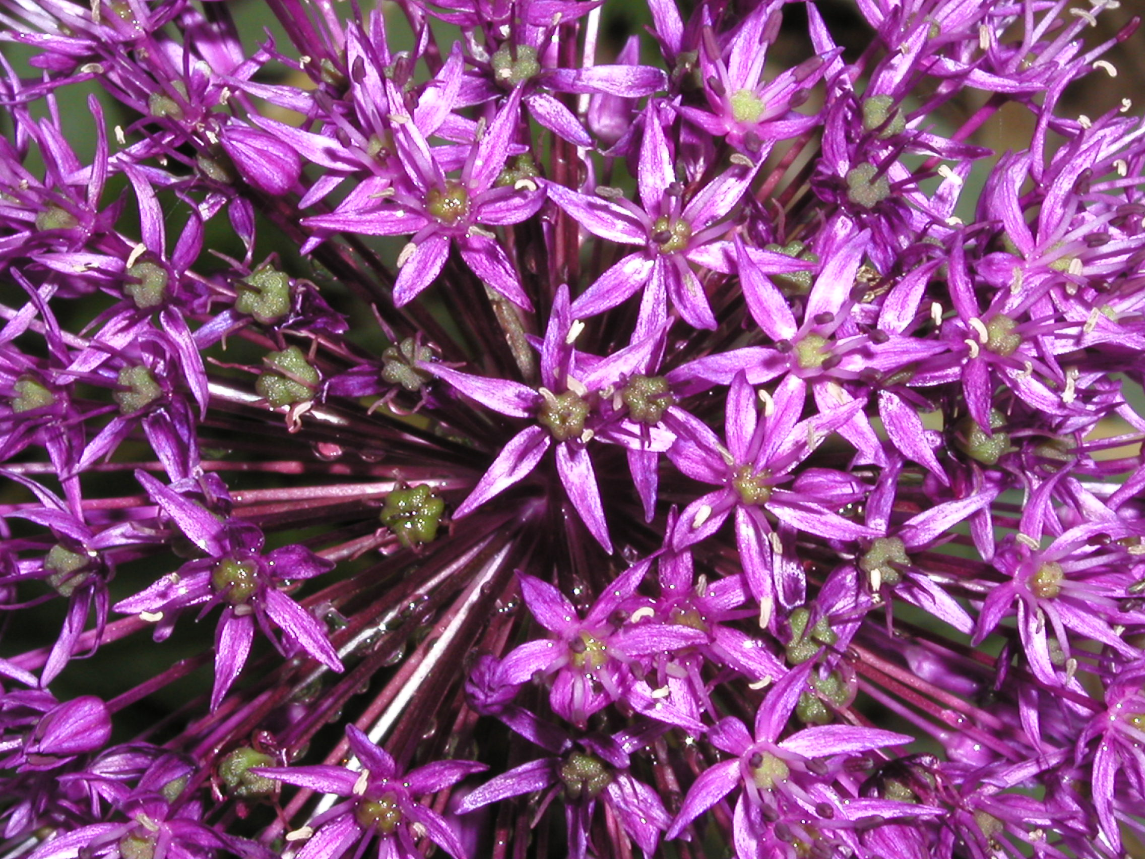 Allium 'Purple Sensation' 5-8-03.JPG