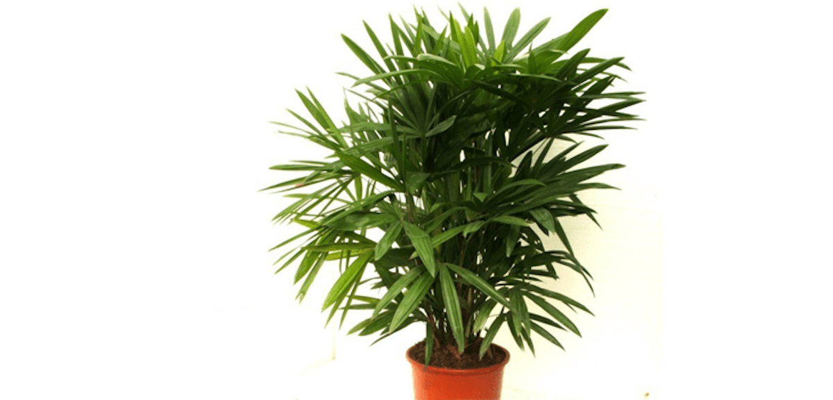 Lady-Palm (1).png