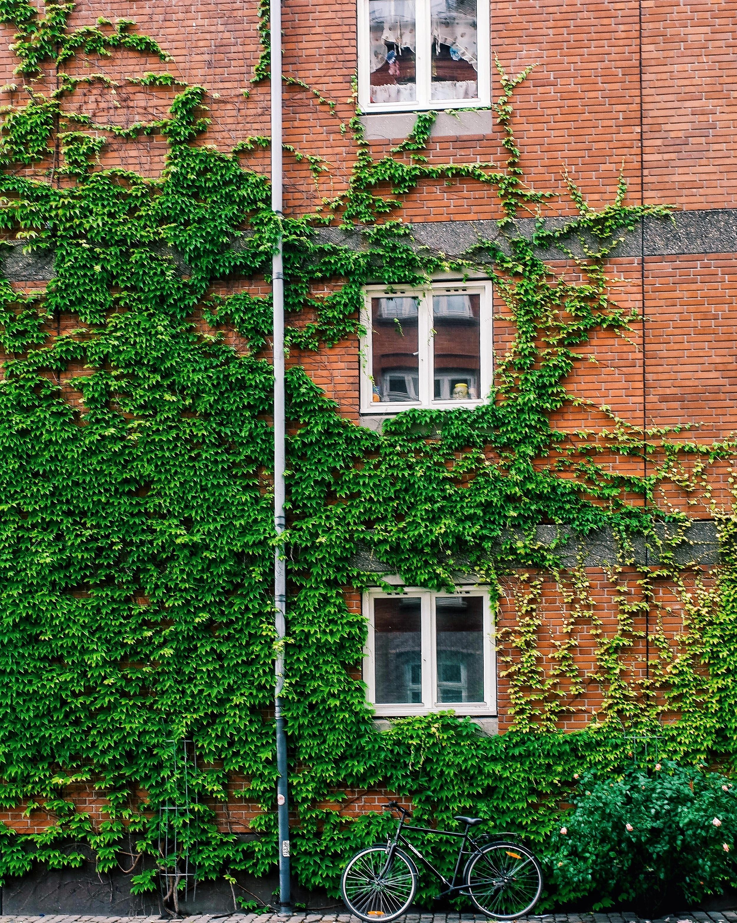An ivy wall in Copenhagen taken with a Samsung NX500