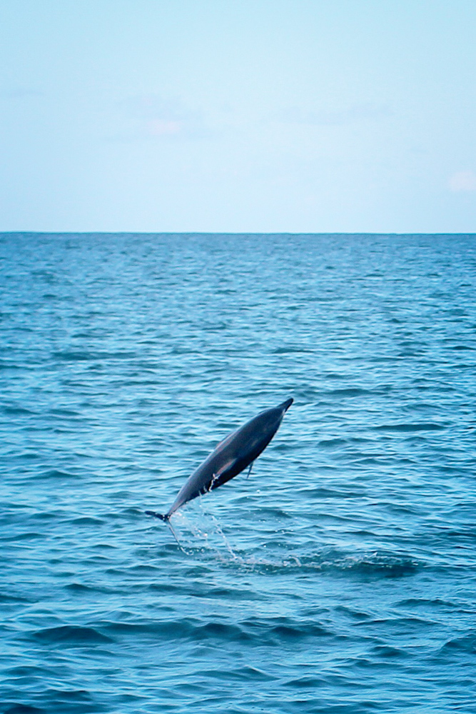 Spinner dolphins seen in Waianae, Oahu, Hawaii during a tour with Dolphin Excursions