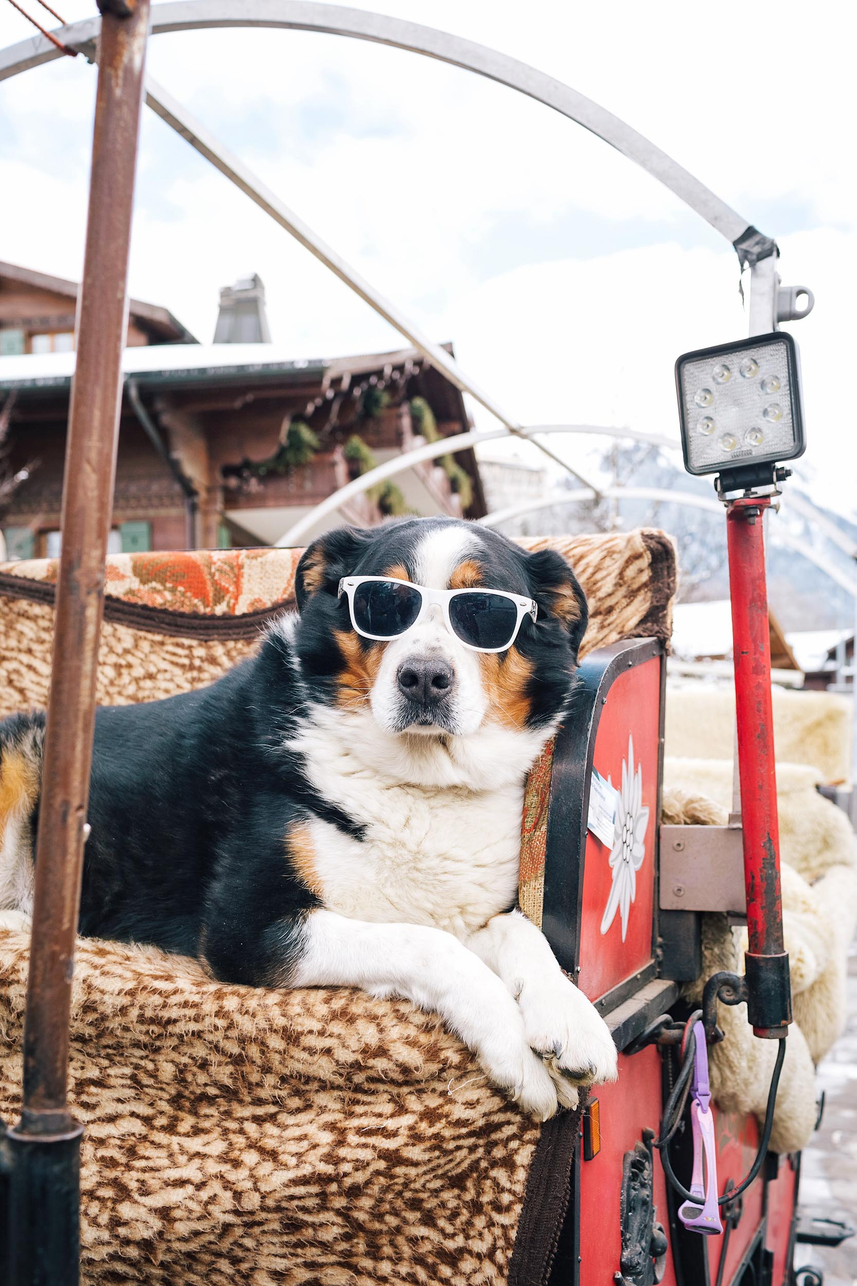 Nico, an adorable pup riding his owner's horse and carriage in Gstaad, Switzerland