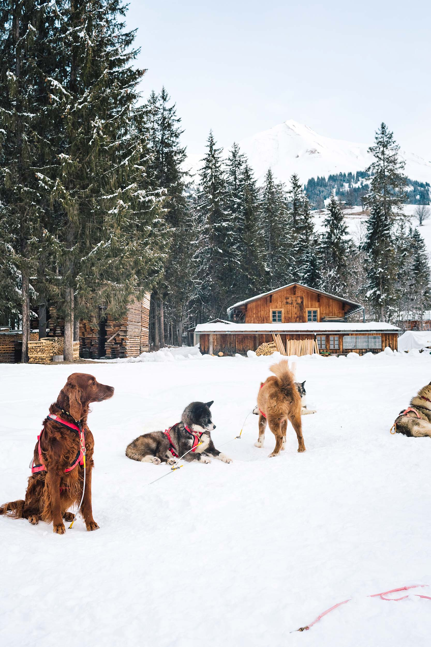 Dogs ready to take us sledding in Switzerland