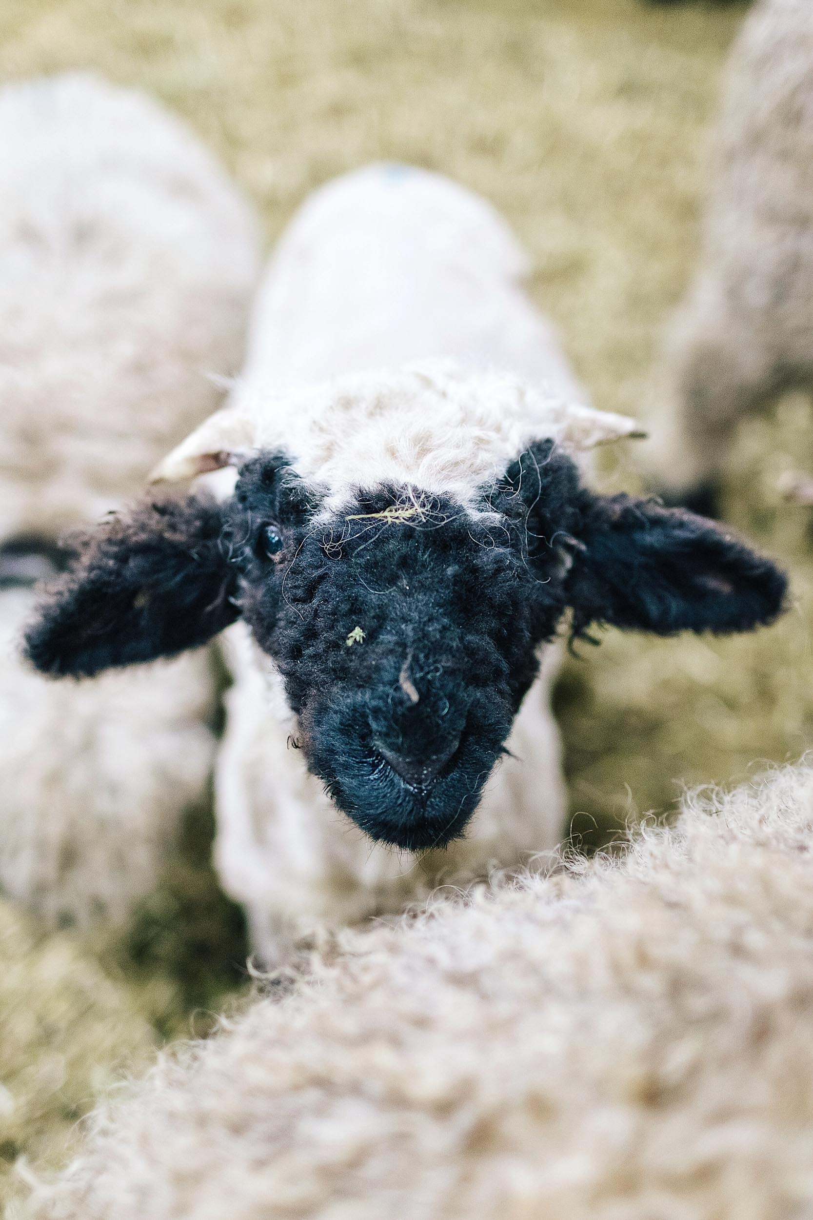 A baby black nose sheep in Switzerland