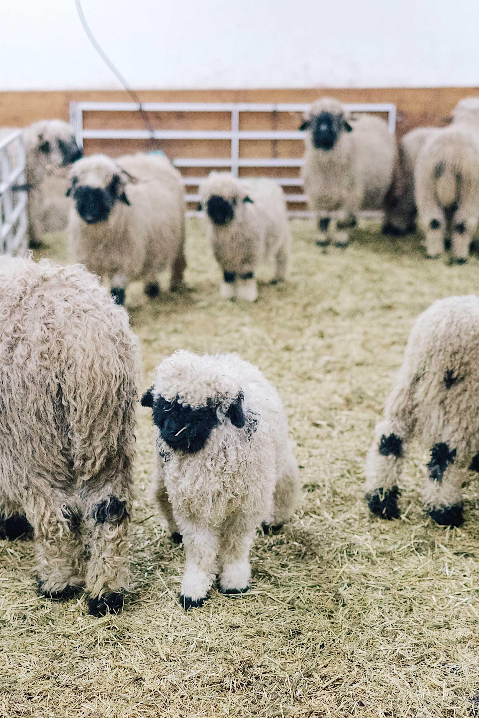 A traditional black nose sheep farm in Zermatt, Switzerland