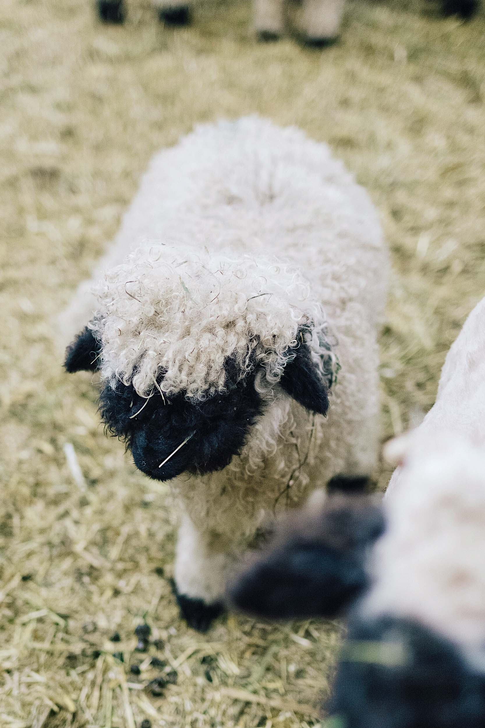 A fuzzy little black nose sheep