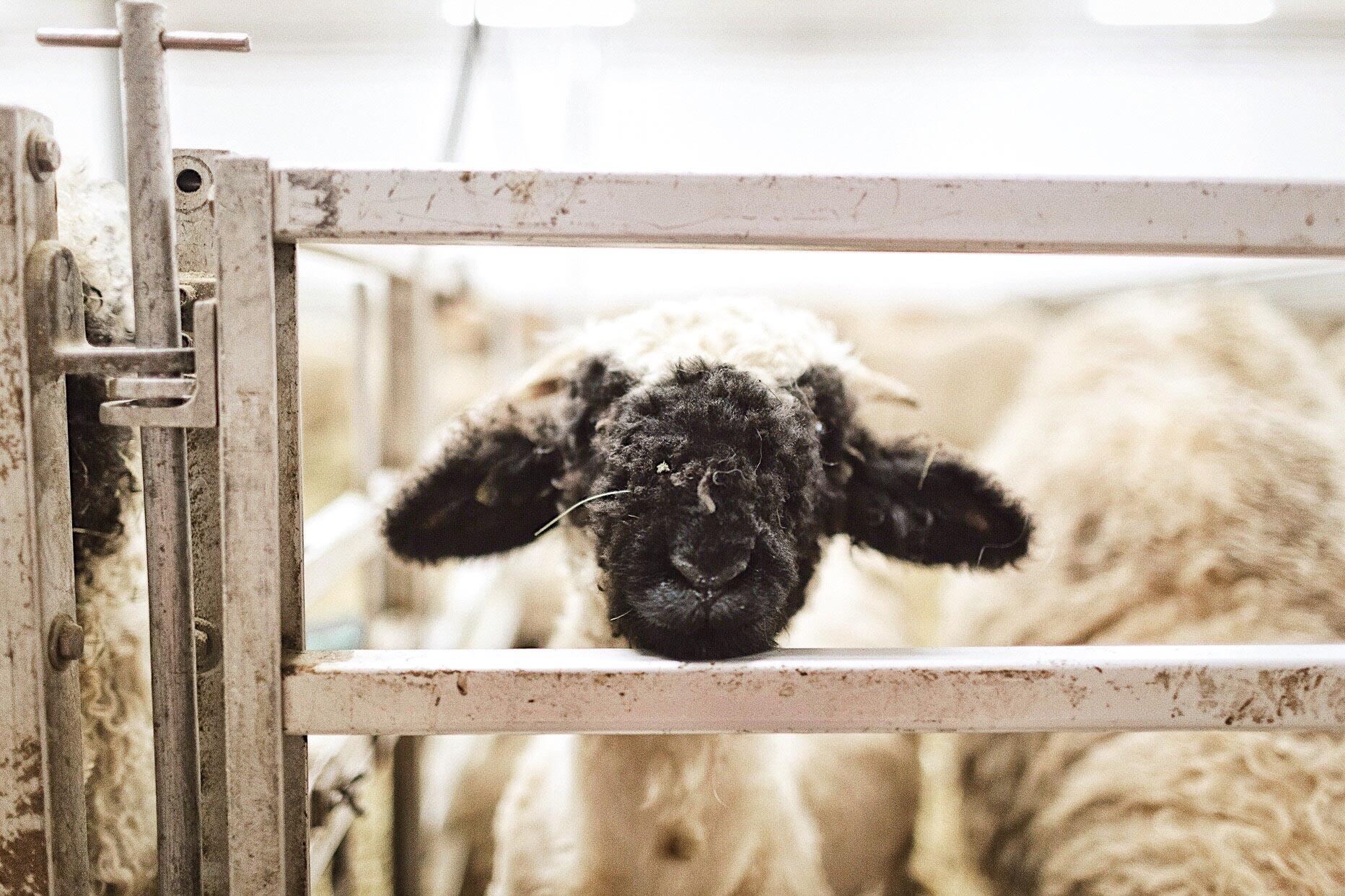 A black nose sheep in Zermatt