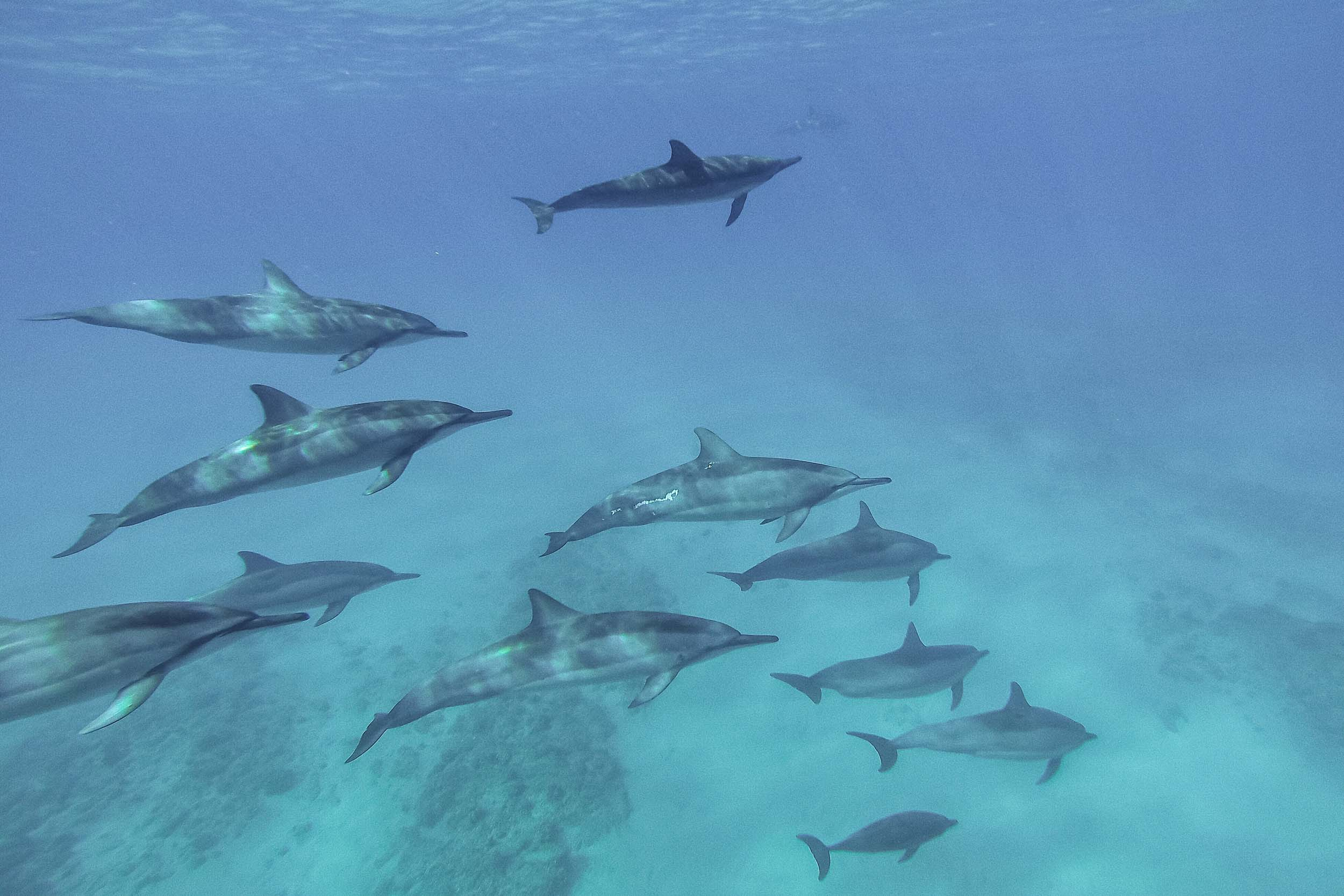 How to swim with dolphins in Oahu Hawaii in the wild
