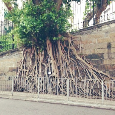 Tree roots in Hong Kong.