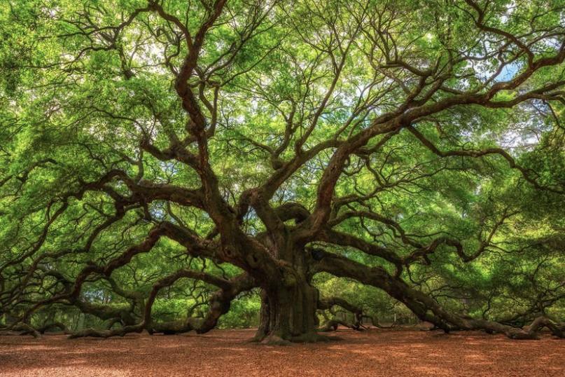 Cedar Tree.png