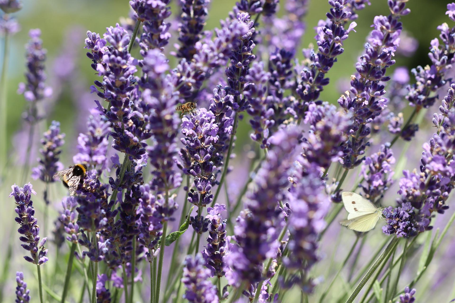 lavender-4348354_1920.jpg