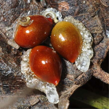 Bloodroot seeds. Photo by David G. Smith, via Delaware Wildflowers .