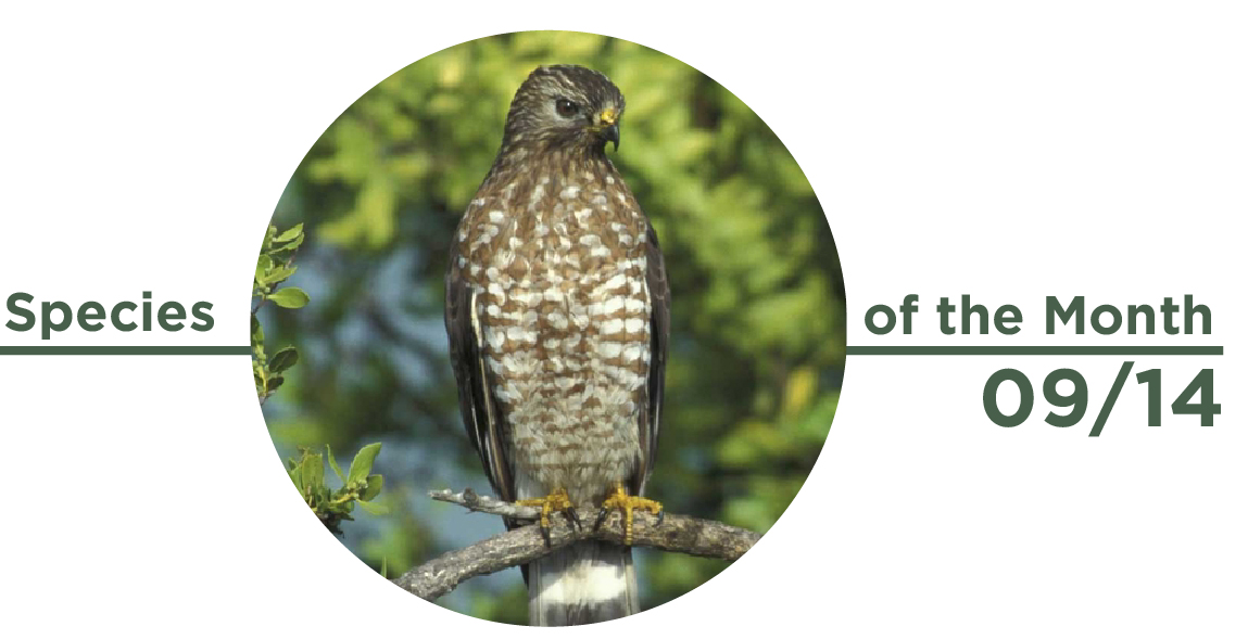 Species 09:14 Broad Winged Hawk-01-01.jpg