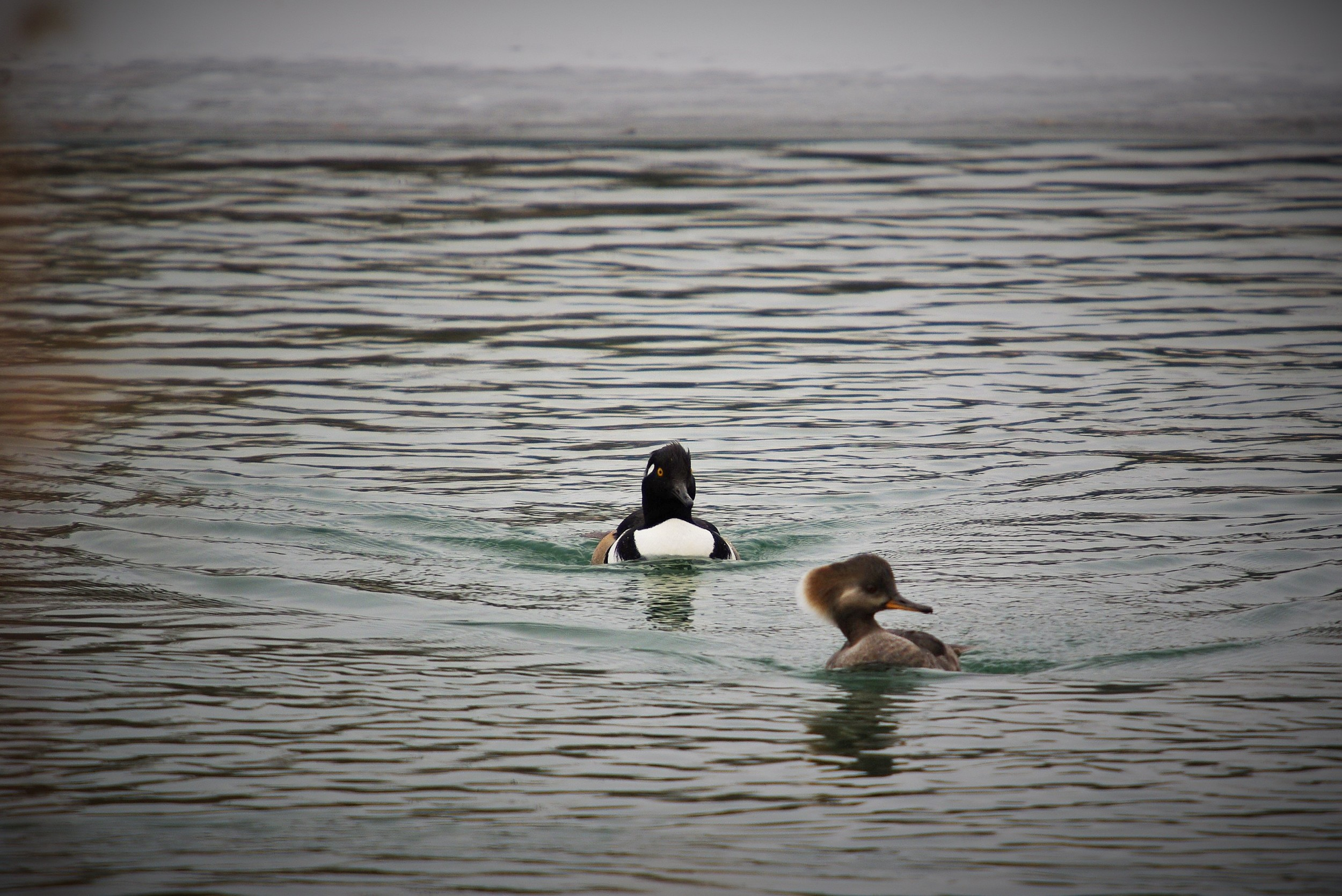 Migratory and wintering waterfowl such as hooded merganser, canvasback, red-head and ring-neck ducks, are a beautiful common sight in Post-Dispatch Lake. Photograph by Patrick Greenwald.