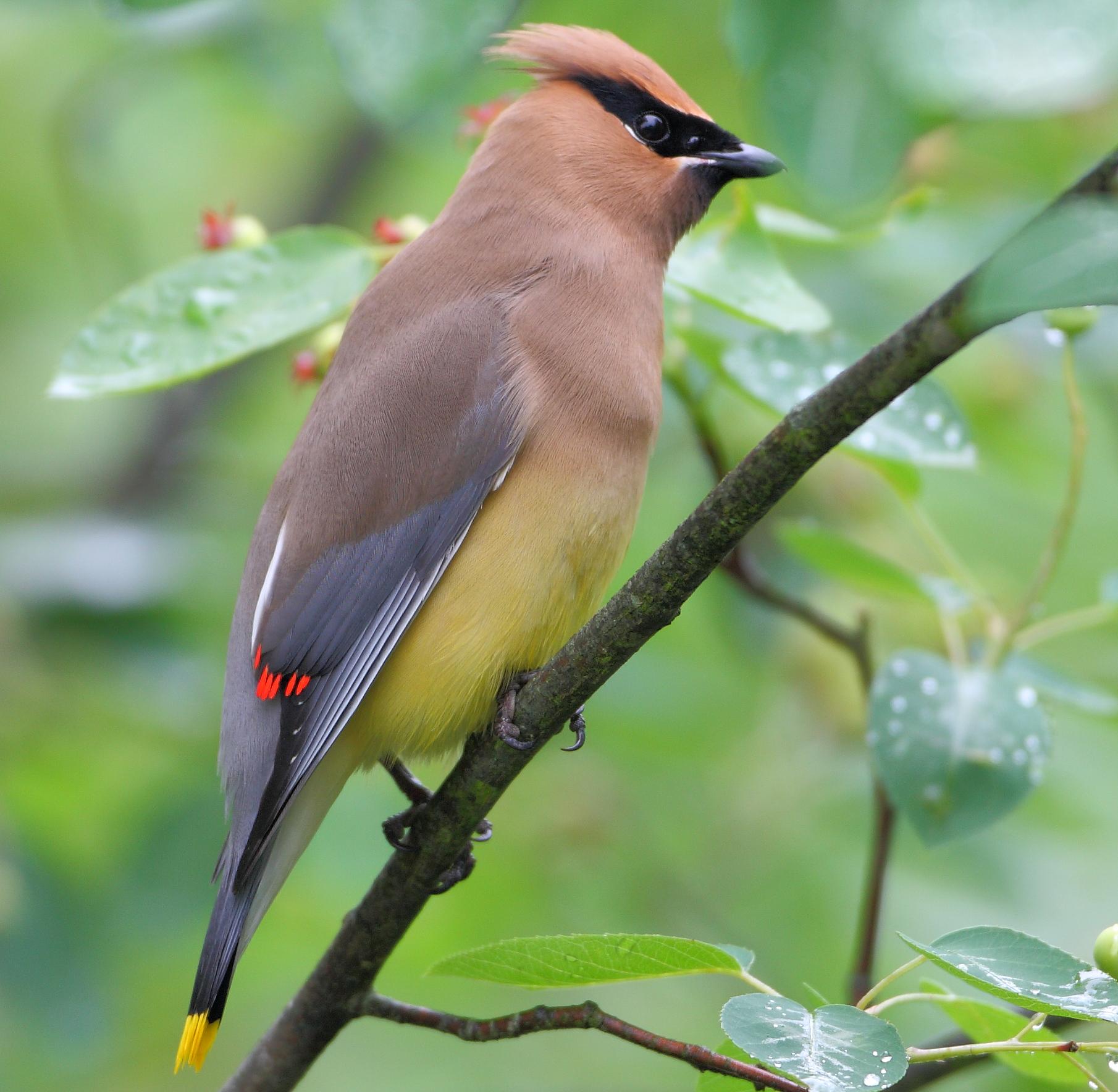 A cedar waxwing bird