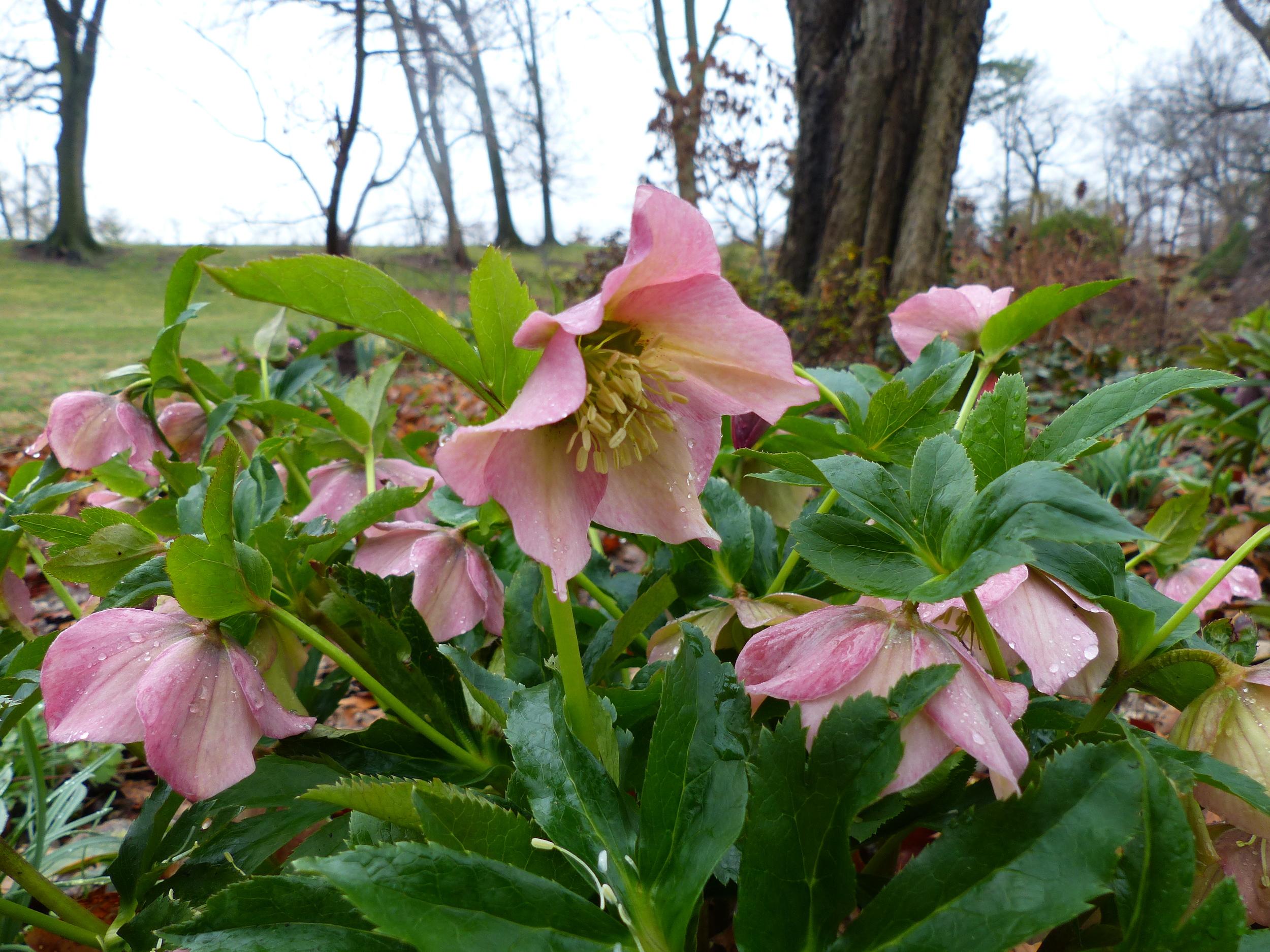Pink hellebore blooming in late winter