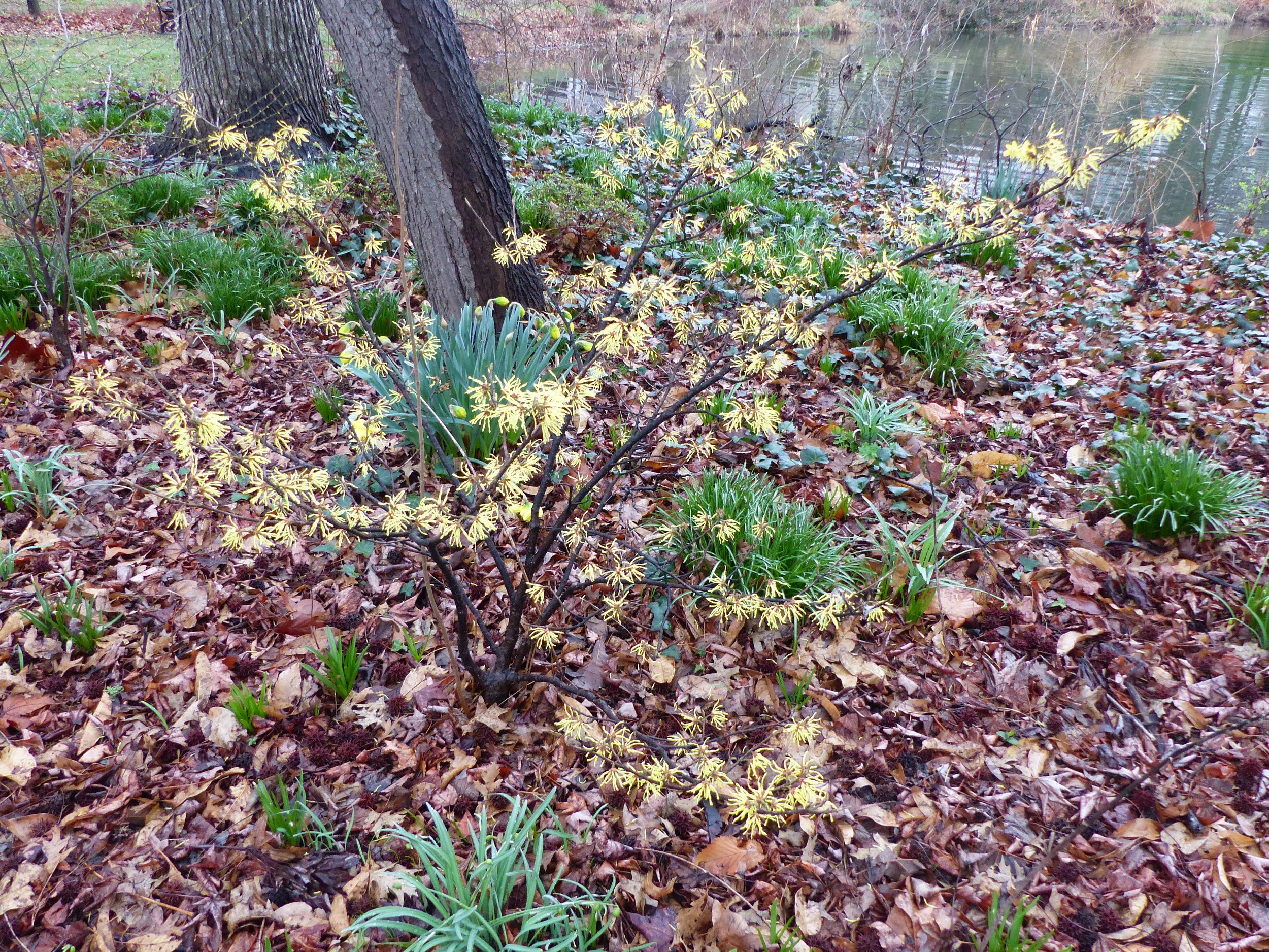 Witch hazel opens its fragrant, cinnamon scented flowers