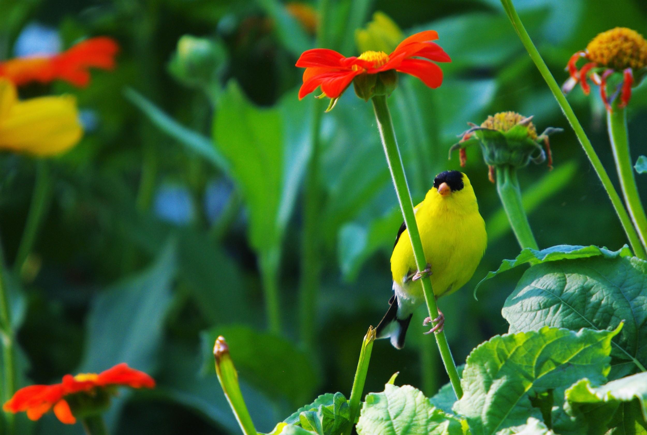 yellow finch on display2016.jpg