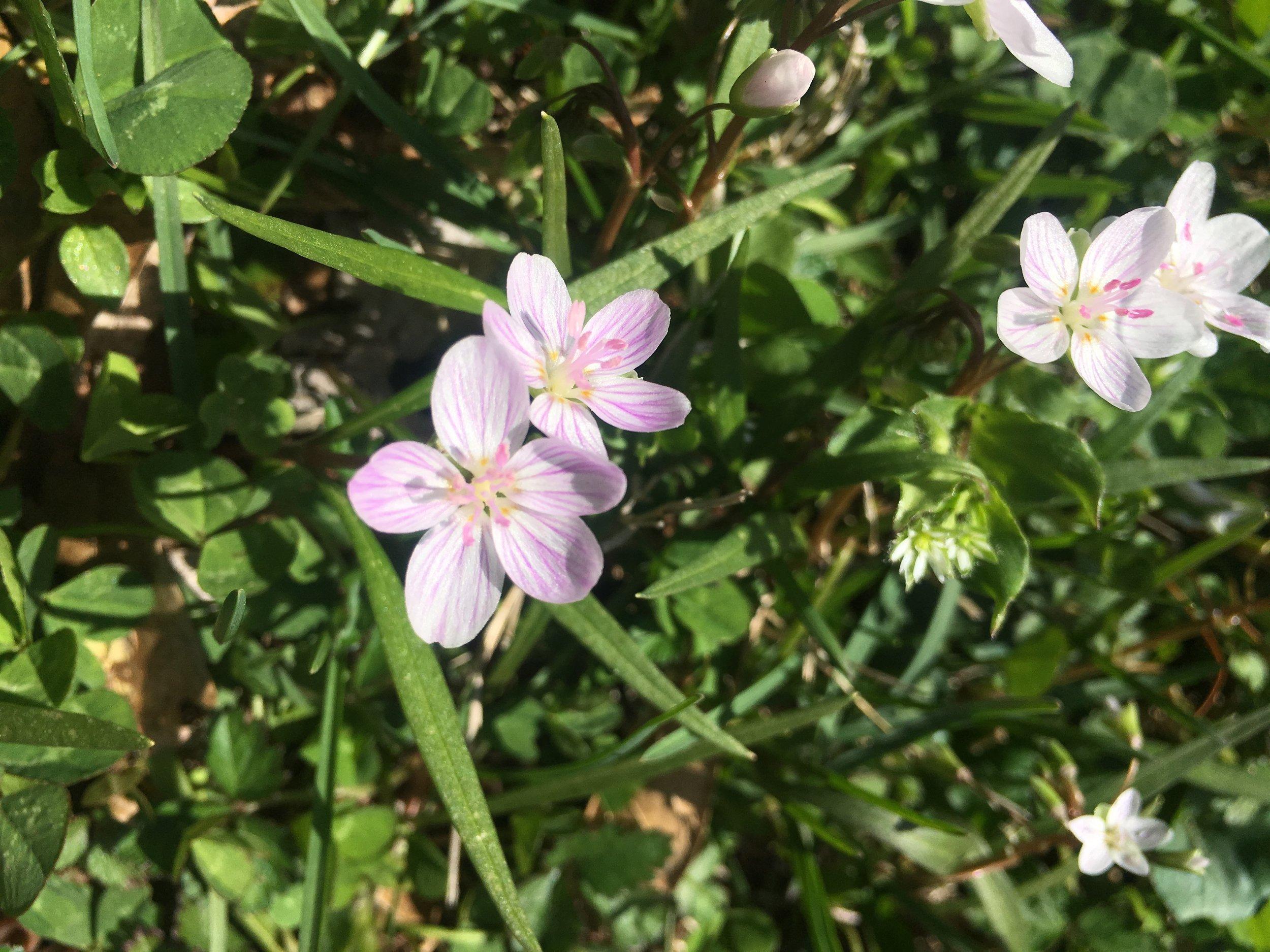 Spring Beauties_2097.JPG