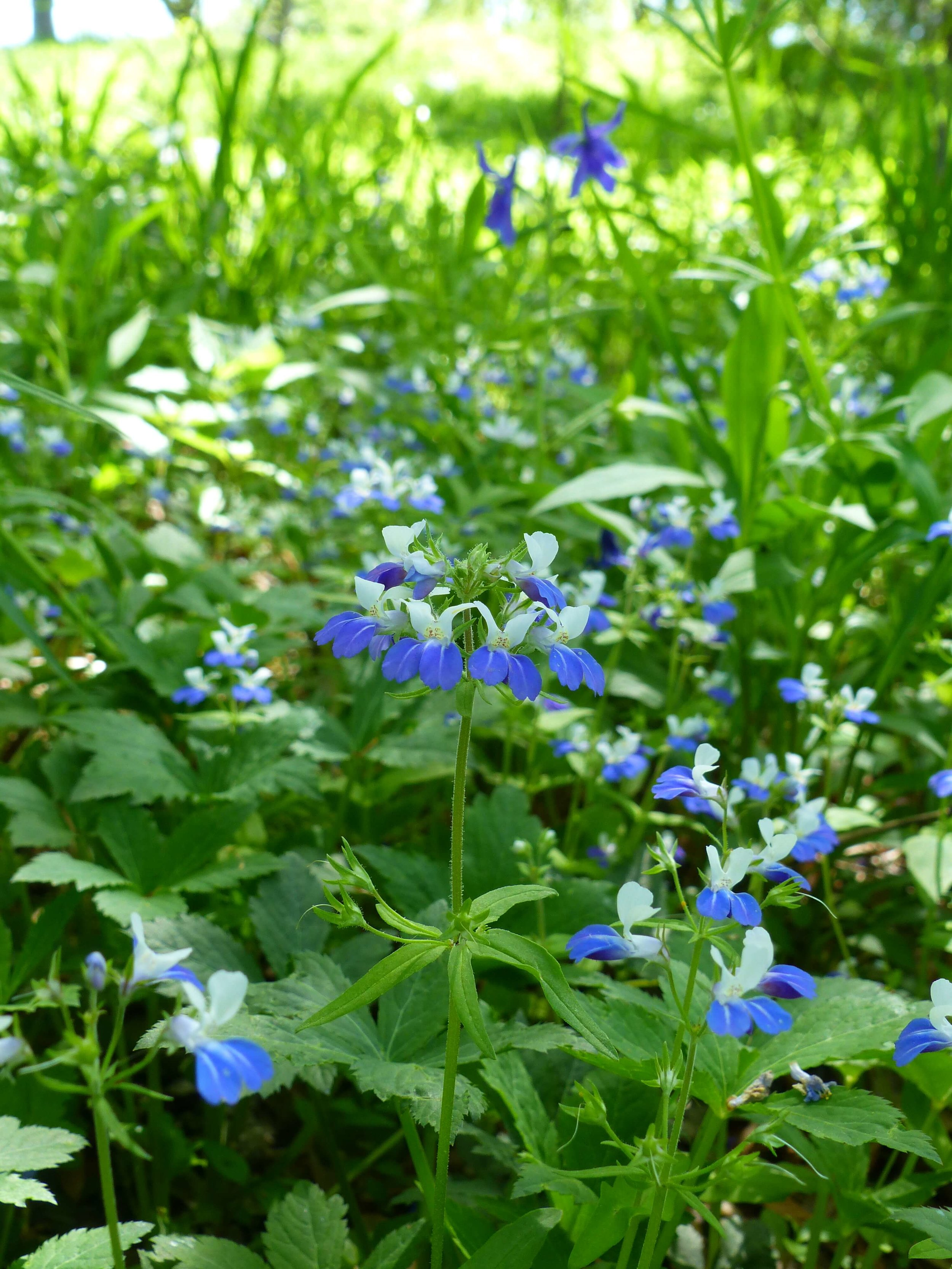 Blue-eyed Mary (CollinsiaVerna)_2017_4_18_RLV (1).jpg