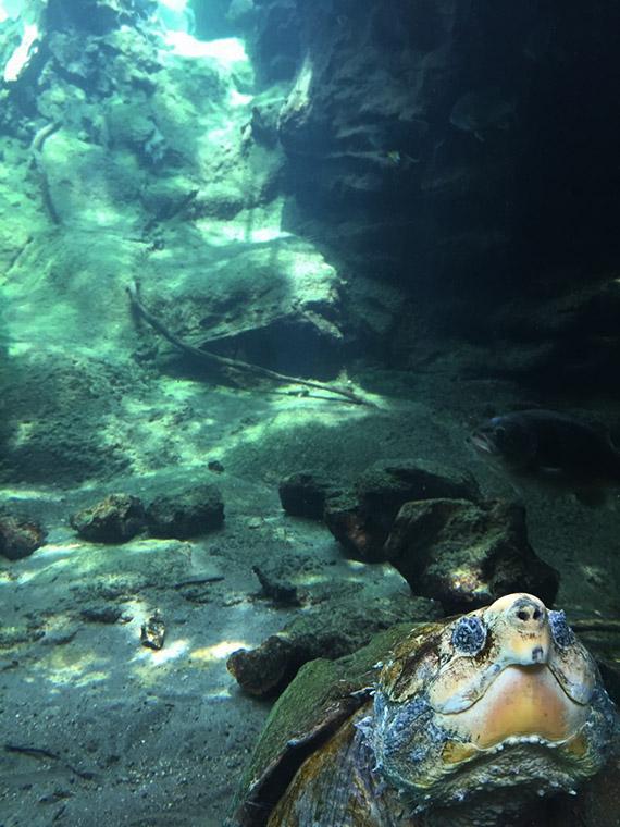 turtle-flint-riverquarium.jpg