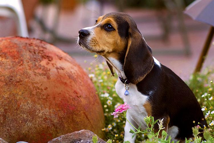 Beagle_rock.jpg