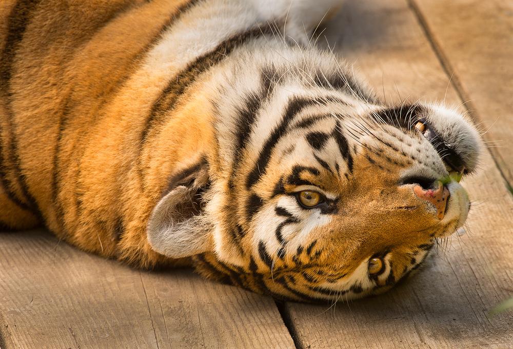 Tiger_laydown.jpg