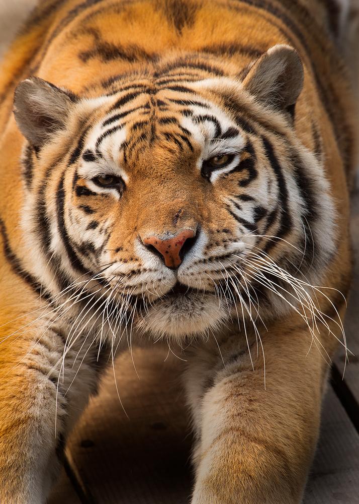 Tiger_stretch.jpg