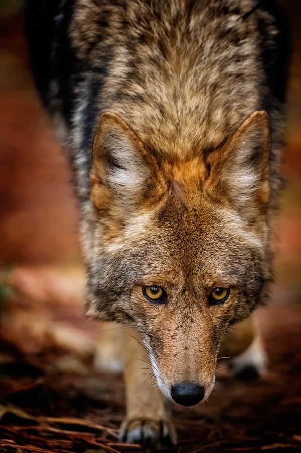 Coyote, Yosemite Valley, California. ©Terry VanderHeiden 2016