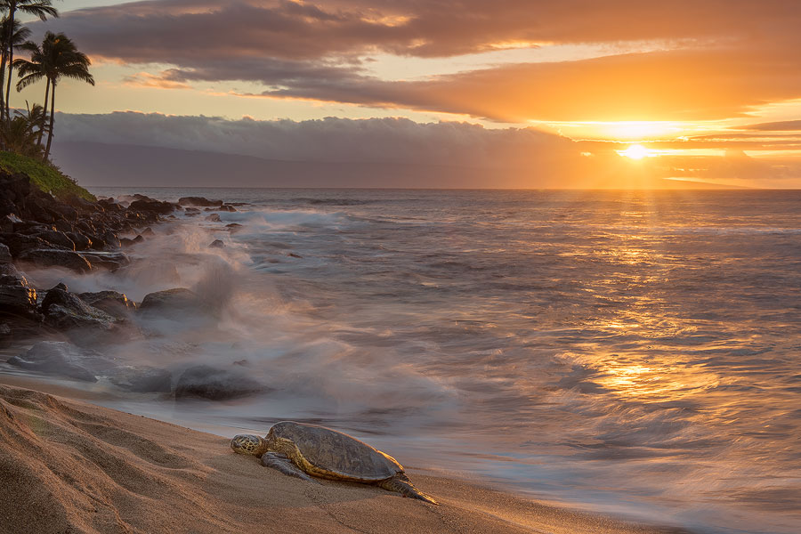 Hawaii_seaturtle_Maui.jpg