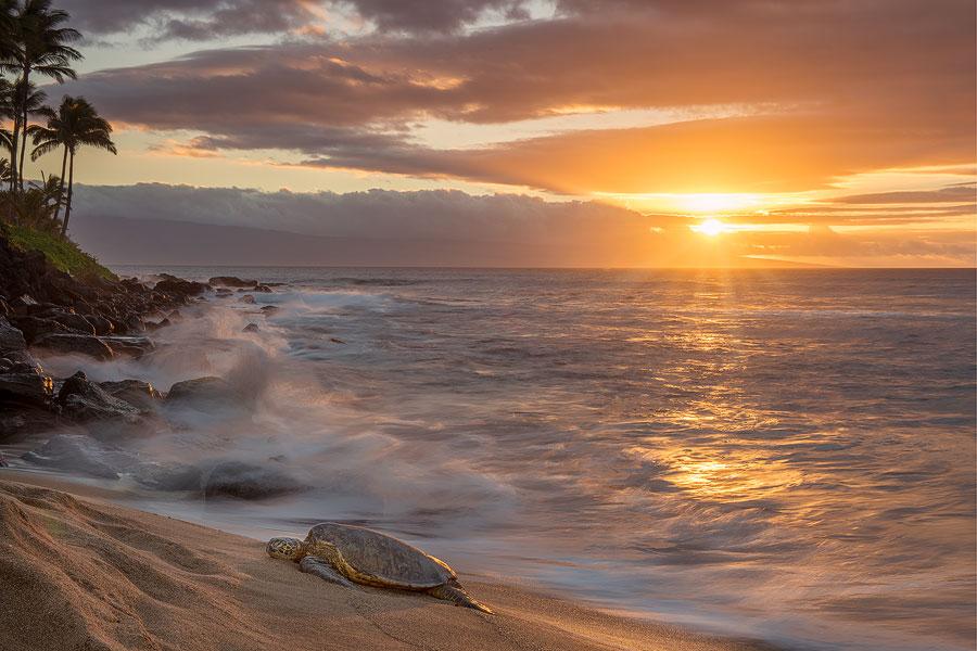 Sea_turtle_Maui.jpg