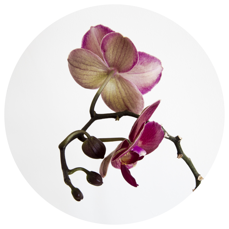Botanical orchid