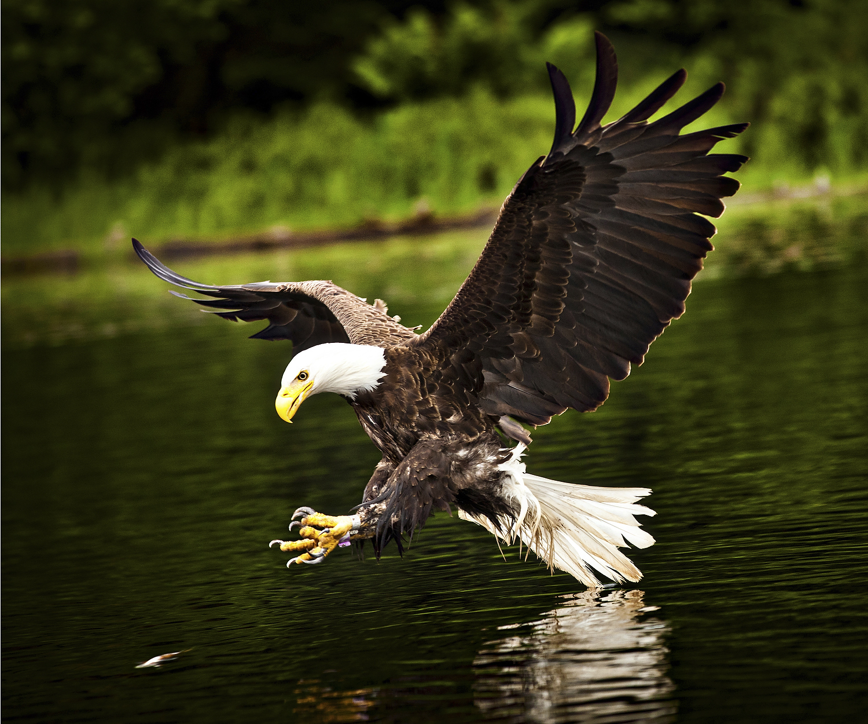 American bald eagle (Haliaeetus leucocephalus) in flight with fish Boulder Junction, Wisconsin.