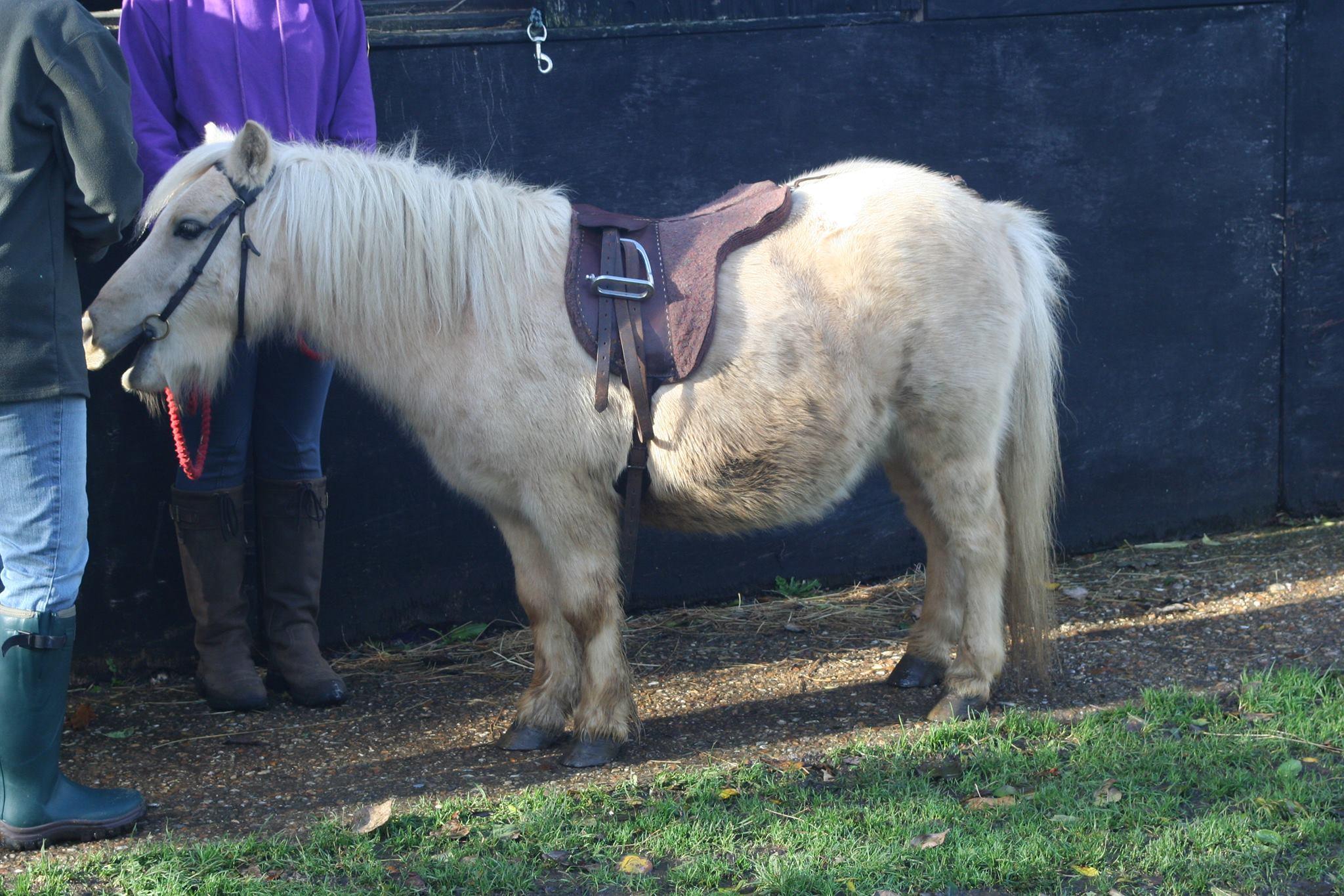 Pedro, American Miniature Pony at the Northcote Heavy Horse Centre, Lincolnshire