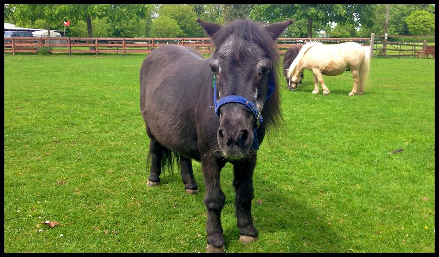 Bonnie, Shetland Pony at the Norhtcote Heavy Horse Centre, Lincolnshire