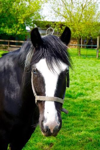 Shiloh Gypsy Cob living in Lincolnshire