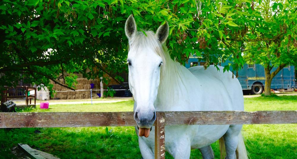 British Percheron Horse Smiling Laughing.jpg