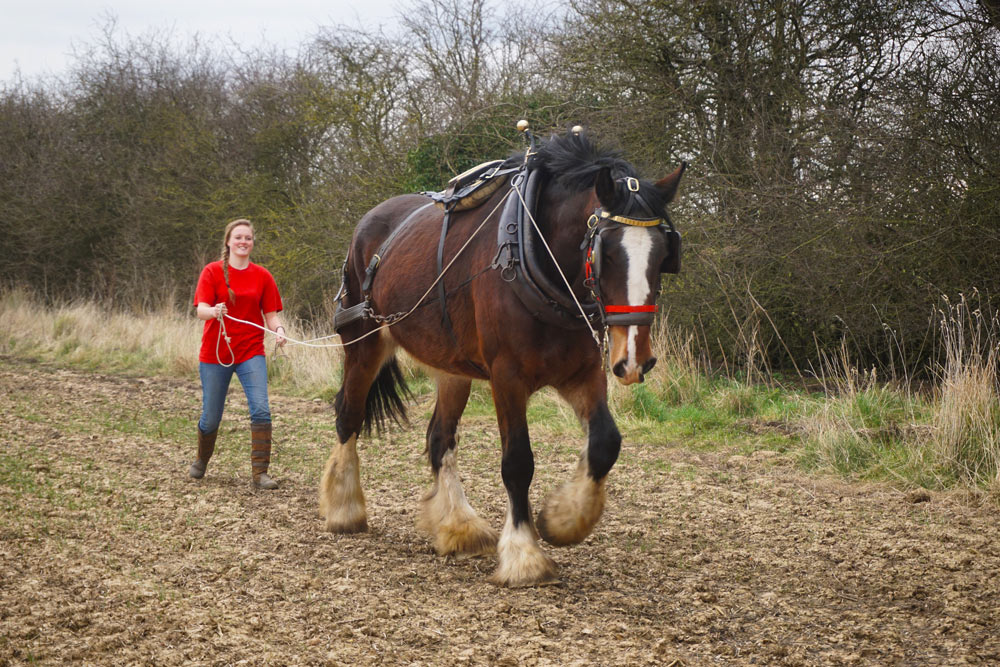 Wendy-Shire-Horse-in-Harness3.jpg