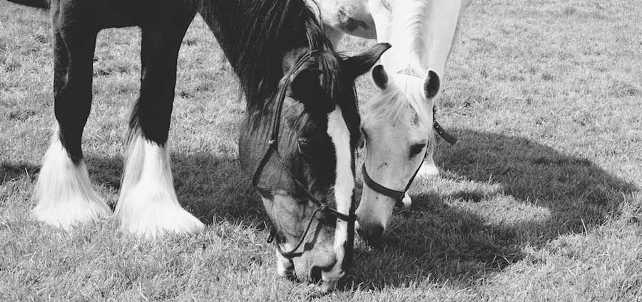 Horses Wendy a Shire Horse and Pluto a Lipizzan