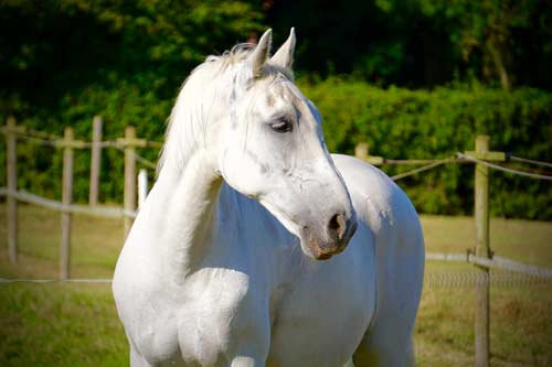 Pluto - Pluto is a Lipizzaner.Born in 1999.White coloured.15 Hands High.Find out more here...