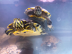 Terrapins & Turtles - We're home to two turtles and two terrapins.Find out more here...