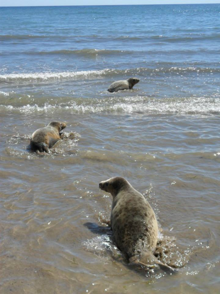 A photo of some of the seals hitting the ocean right after a release in May 2014. Good luck gals!