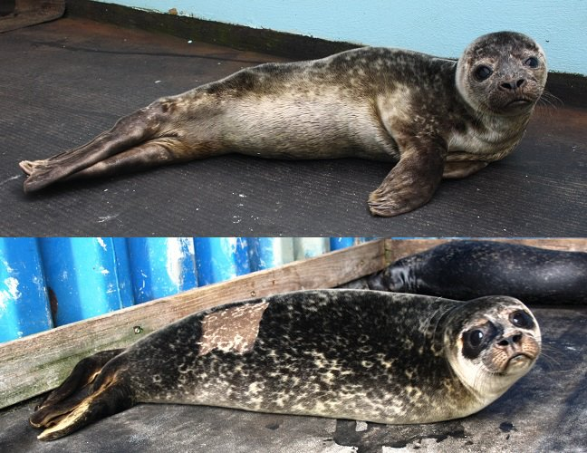 Common seals. Top photo- very sick pup with dry crusty eyes and very skinny. Bottom photo- healthy pup with large wet patches around eyes and a good weight. (This is a before and after shot of a seal called Tully who came into care in August 2013 and was successfully released several months later. The square patch on her back is from where she was shaved to give her life saving IV fluids)