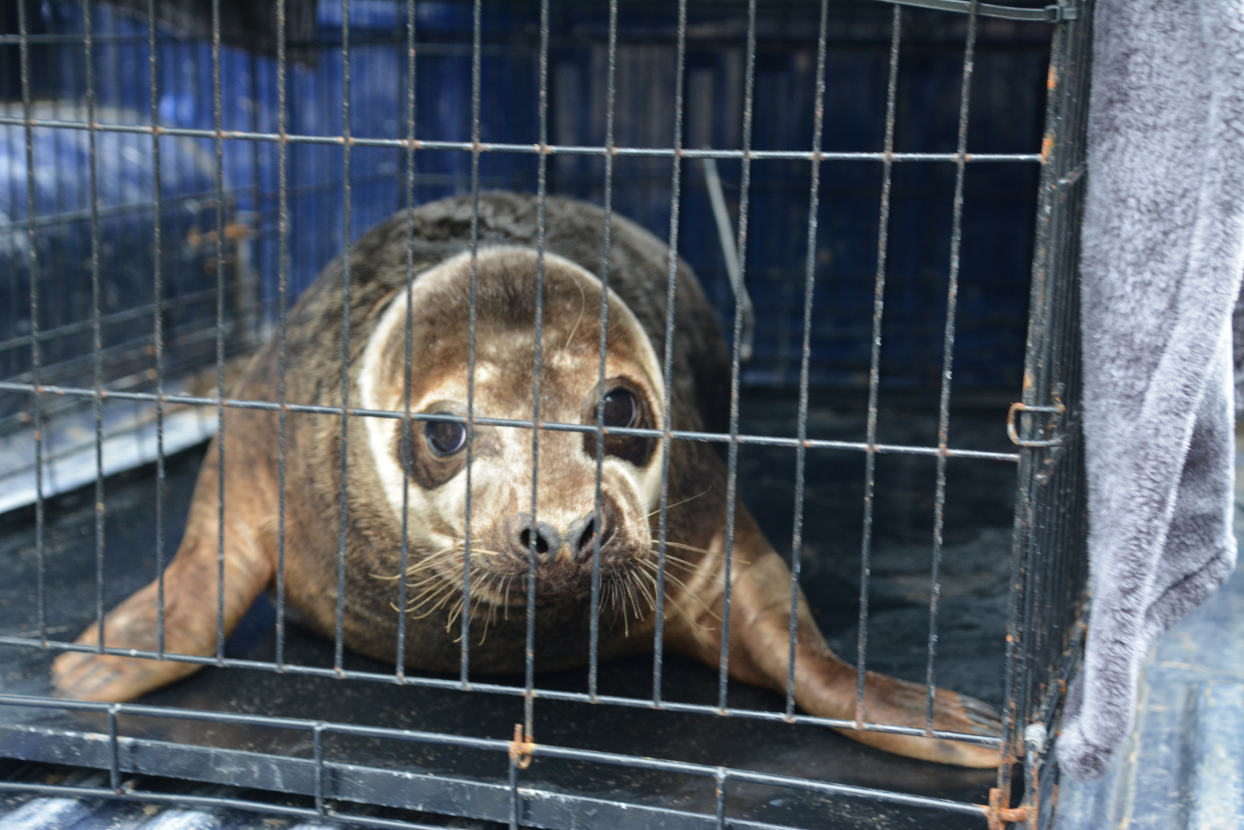 seal - 2016 - seal release - dr doom - grey seal - male - dog kennel - east coast - courtown - north beach.JPG