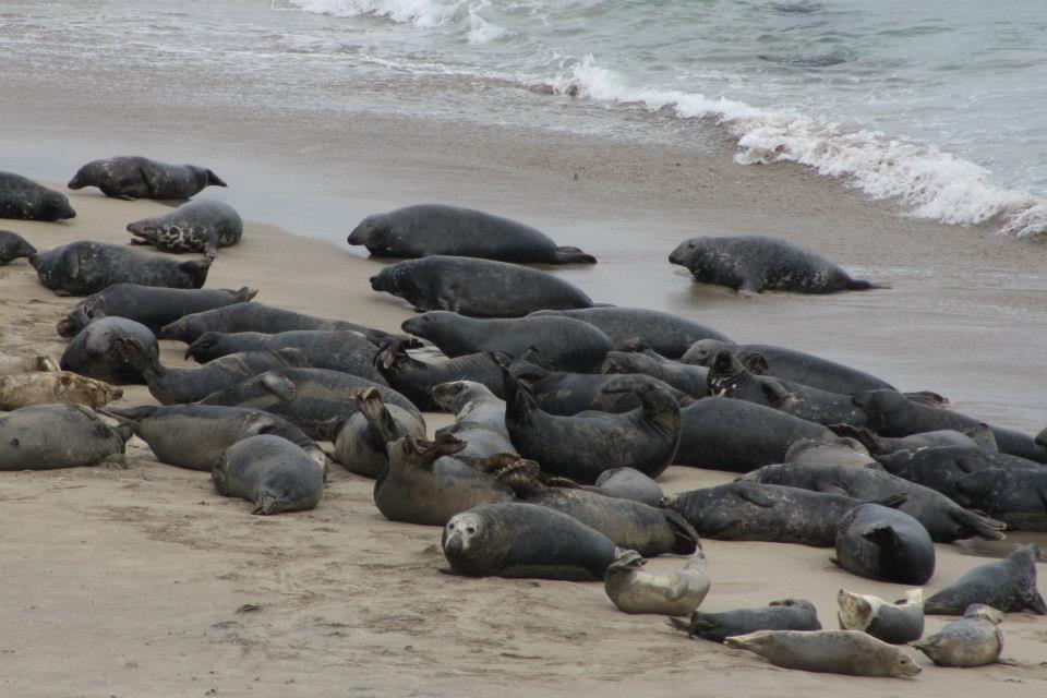 Grey Seals on the Great Blasket Islands