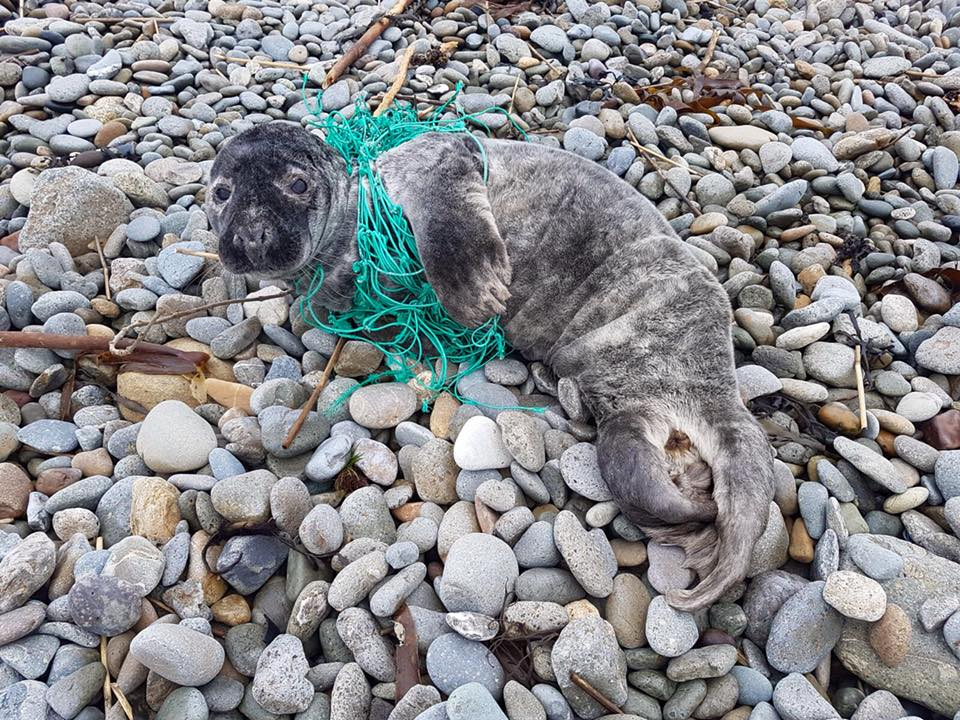 Tristan caught in a net when we found him