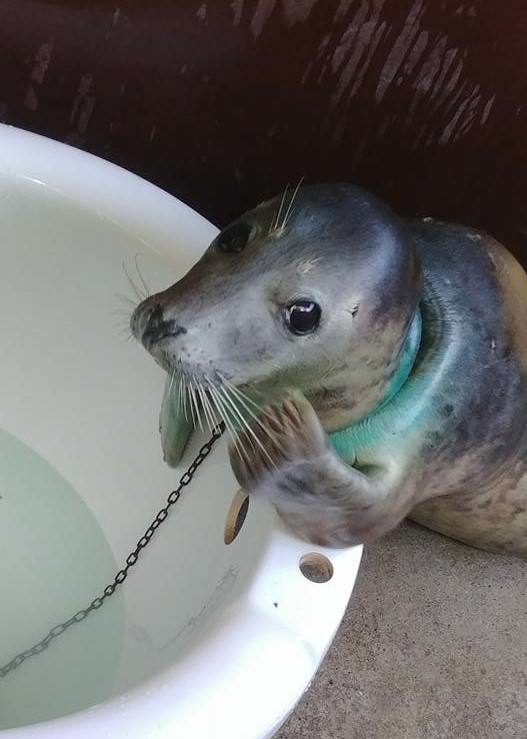 The rescued seal, now named Maui, relaxes safely in his kennel