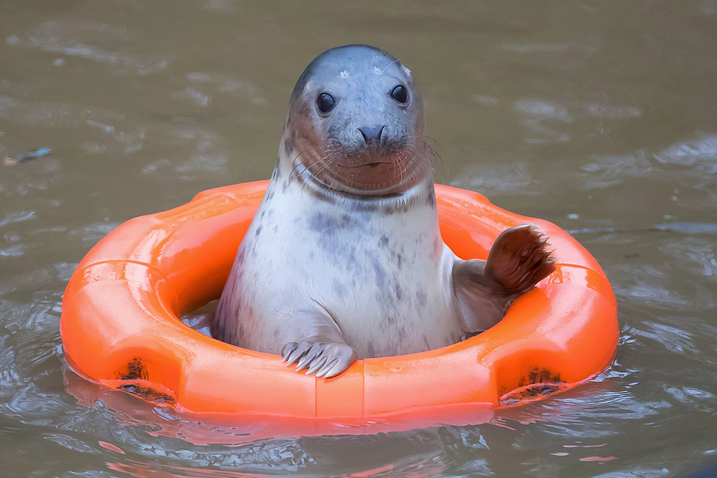 "17/12/2016. Pictured at Courtown Seal Rescue Center, Courtown, Co. Wexford. Pictured is ""Sally"" the seal. Picture: Patrick Browne"